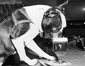Dog Drinking Beer from Glass in Bar